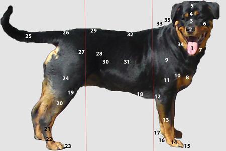 Le corps du chien