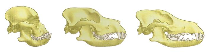 Les différents crânes du chien