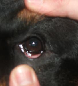Les muqueuses : L'oeil